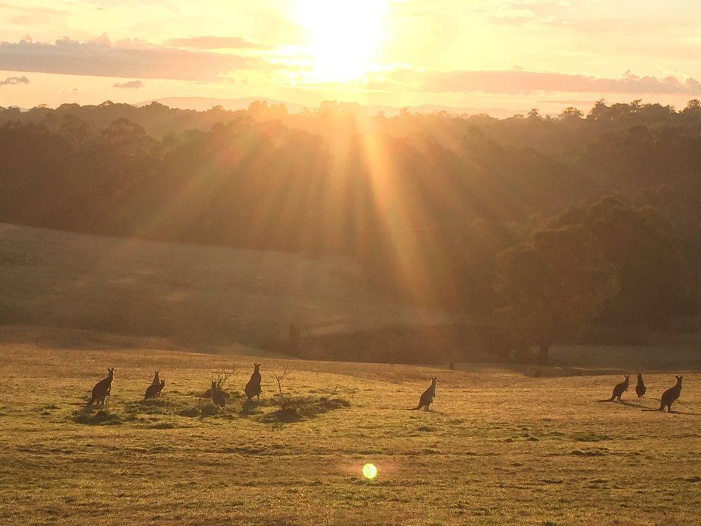 Kangaroos in the sunset - Yarra Ranges Estate
